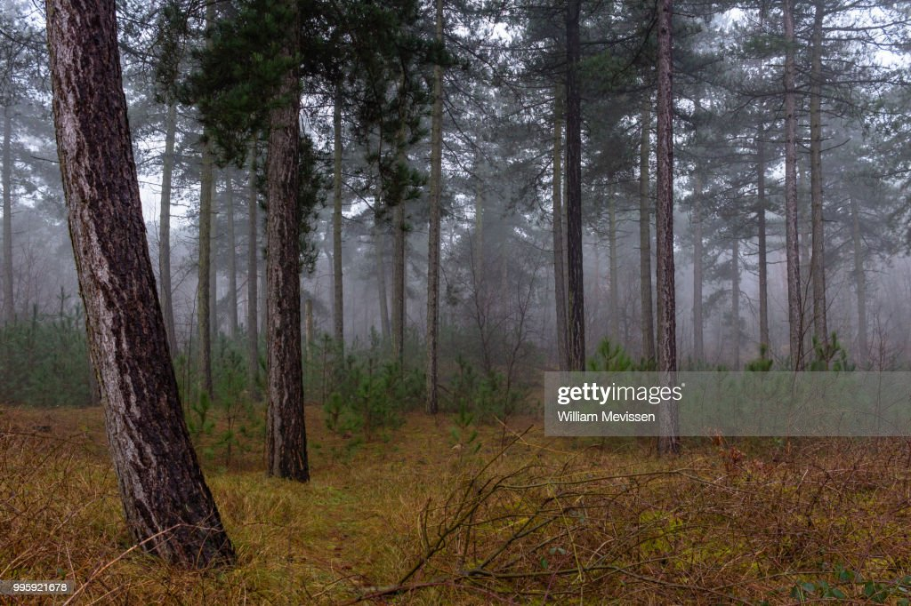 Foggy Forest : Stockfoto