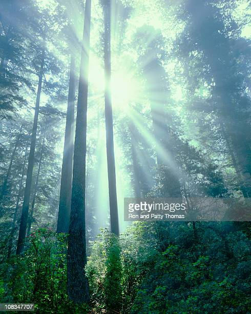 Foggy Light Rays In Redwood National Park
