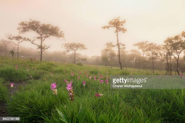 Foggy morning in Siam Tulip Field.