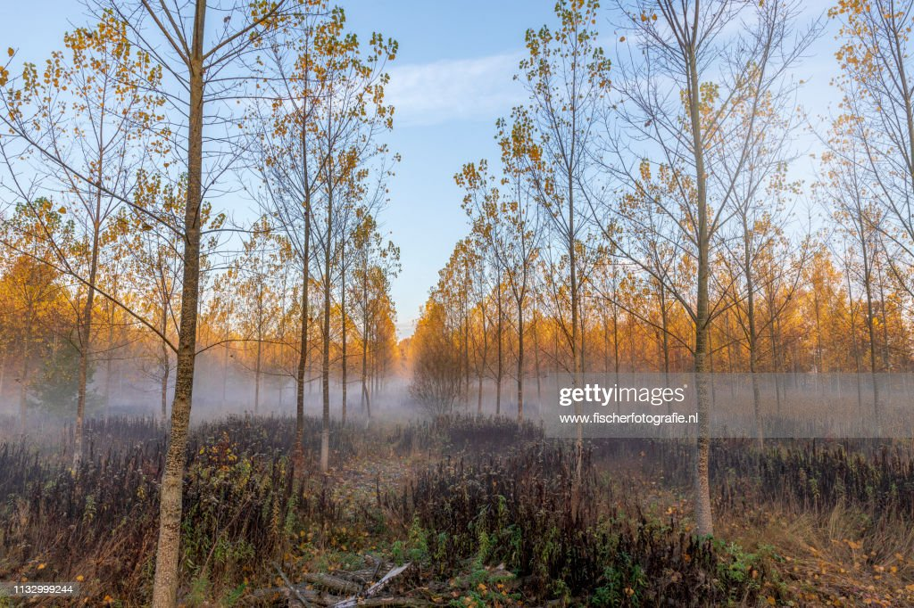 Foggy morning in the dutch forest : Stock Photo