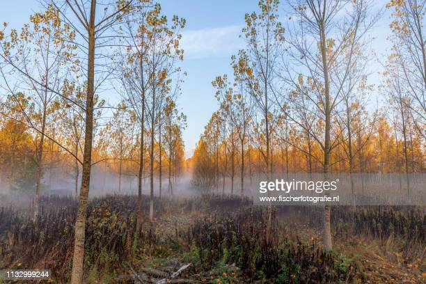 foggy morning in the dutch forest - kleurenfoto stock pictures, royalty-free photos & images