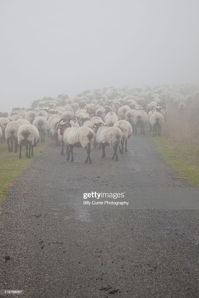 Foggy Sheep : Stock Photo