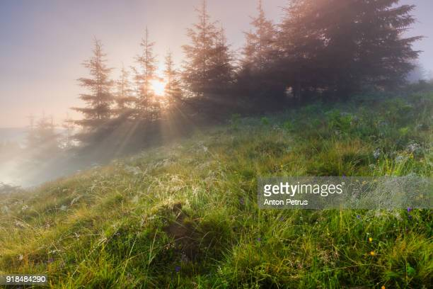 Foggy sunrise in the forest in spring
