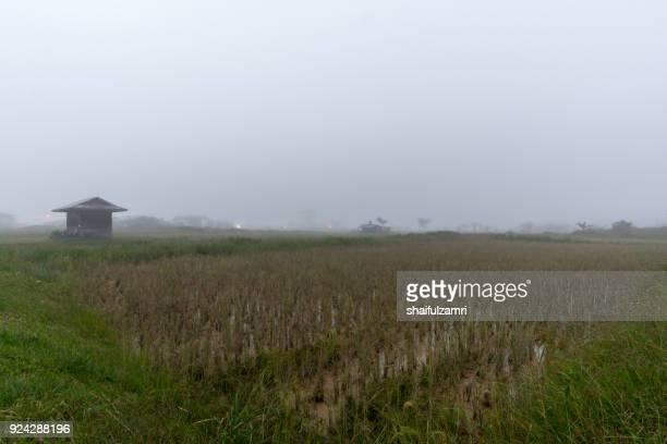 foggy sunrise over organic paddy fields at bario, sarawak - shaifulzamri 個照片及圖片檔