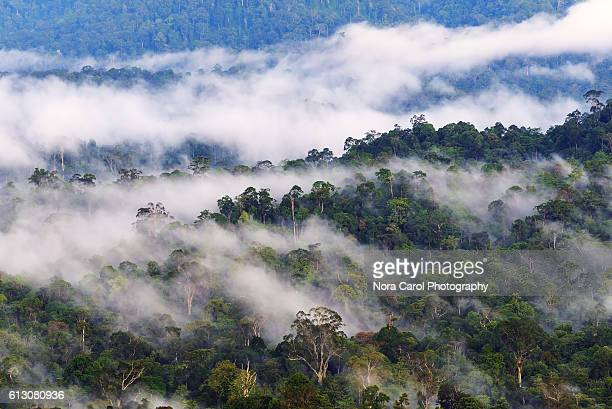 fogs and mist over danum valley rain forest, sabah borneo, malaysia. - dipterocarp tree stock pictures, royalty-free photos & images