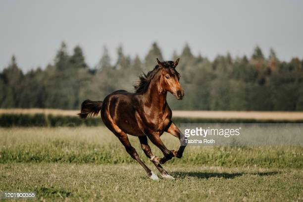 fohlen auf der wiese im galopp - horse stock pictures, royalty-free photos & images