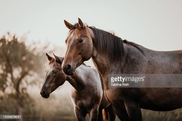 fohlen mit mutter stute pferde quarter horse - paard paardachtigen stockfoto's en -beelden