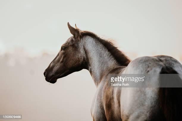 fohlen pferd junges pferd quarter horse pferderasse zucht - paard paardachtigen stockfoto's en -beelden