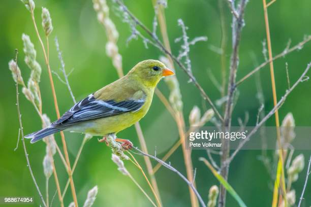 folcroft,usa - american goldfinch stock pictures, royalty-free photos & images