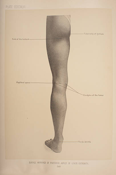 Surface Markings Of Posterior Aspect Of Lower Extremity Pictures