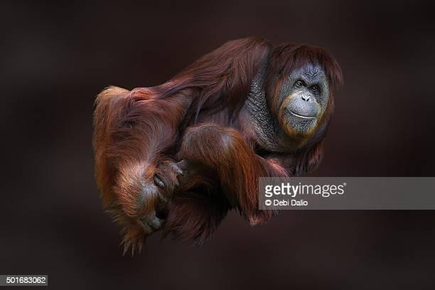 Folded Male Orangutan