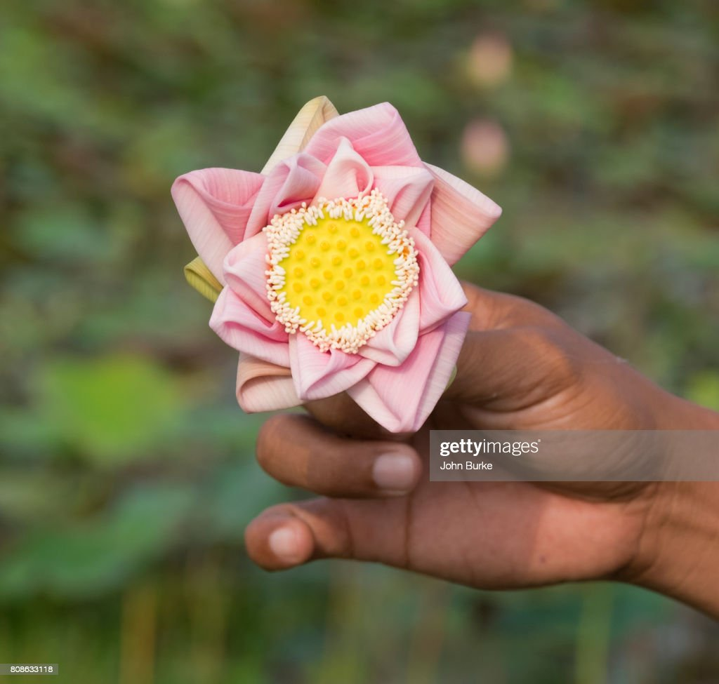 Folding A Lotus Flower Stock Photo Getty Images