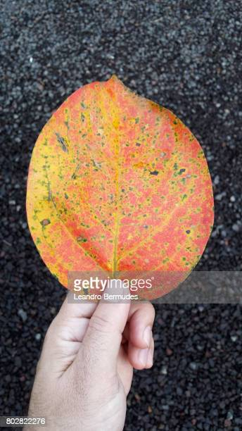 folha em tom laranja sobre palma da mão - mão no cabelo fotografías e imágenes de stock