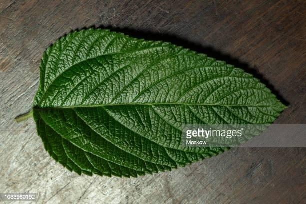 folhas de erva cidreira brasileira - lippia alba - erva cidreira stock pictures, royalty-free photos & images