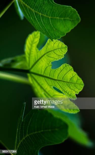 Folhas de figo