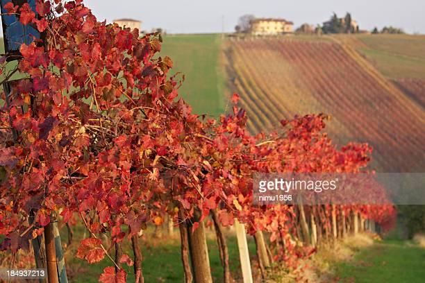 Lambrusco 緑のブドウ園。モデナ Castelvetro のます。イタリアます。