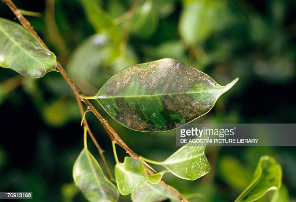 Foliage with symptoms of excess water on Ficus benjamina Moraceae
