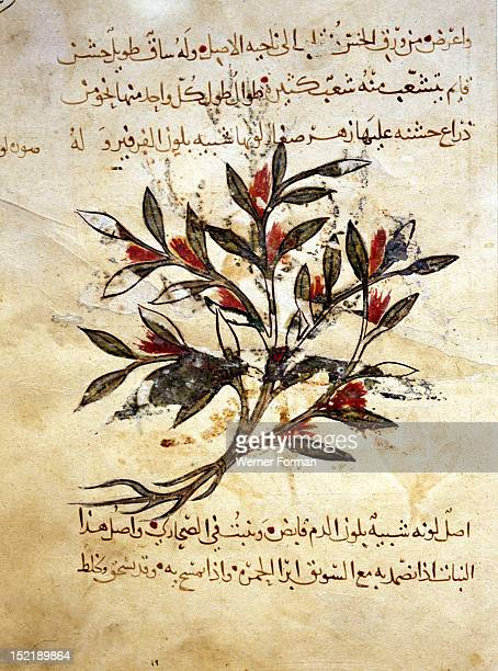A folio from the Arabic version of Dioscorides De Materia Medica A description of the herb luqabsus probably vipers bugloss Iraq Islamic Date/ 1224...