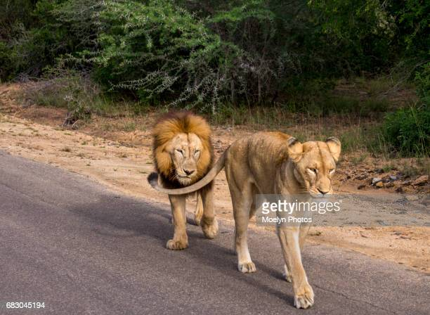 Follow Me-Lions in Kruger NP