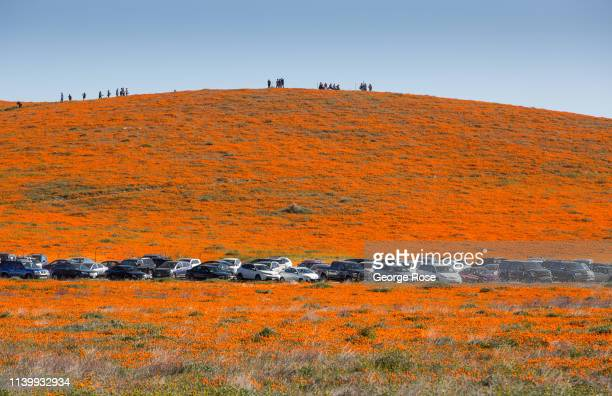 Following record winter rains colorful poppies and other wildflowers have appeared at the Antelope Valley Poppy Preserve one hour north of Los...