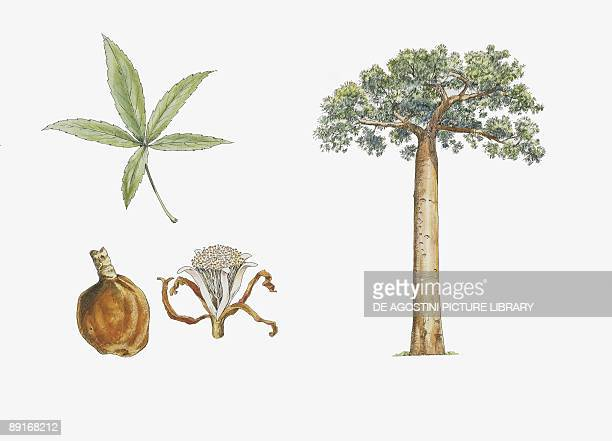 Fony Baobab plant with flower leaf and fruit illustration