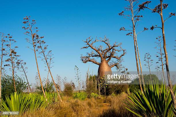 Fony baobab tree near Berenty Reserve in southern Madagascar
