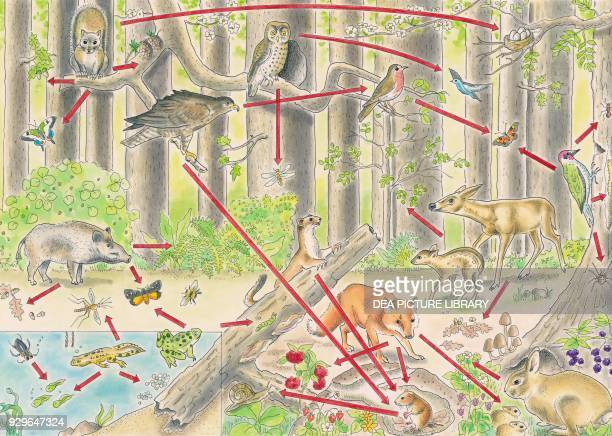 Food chain in a temperate forest drawing