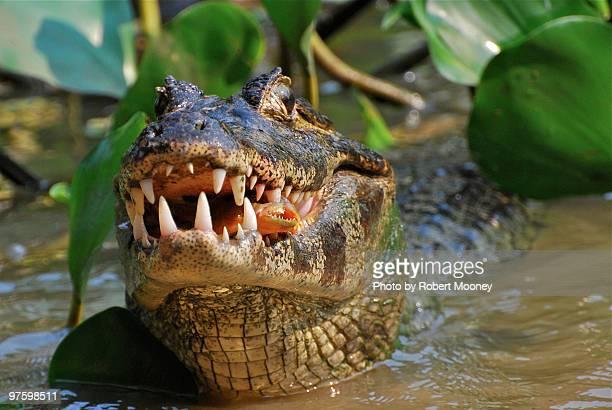 food chain - piranha photos et images de collection