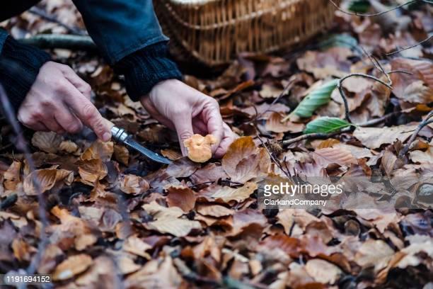 voedsel forager op zoek naar egel paddenstoelen in het bos. - foerageren stockfoto's en -beelden