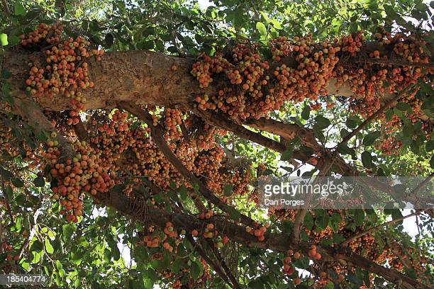 food on tree - sycamore tree stock photos and pictures