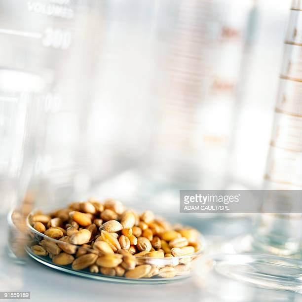 Food research, wheat grains in Petri dish with other laboratory equipment