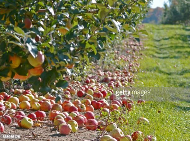 food waste: unharvested apples - traverse city fotografías e imágenes de stock
