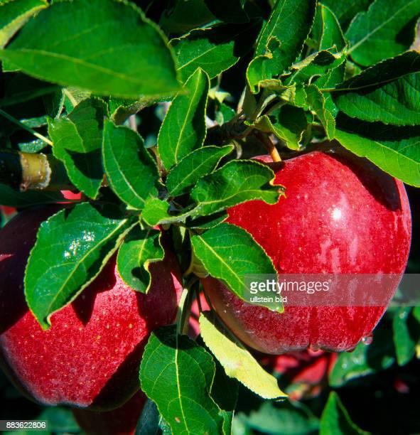 Foodappel tree red apple