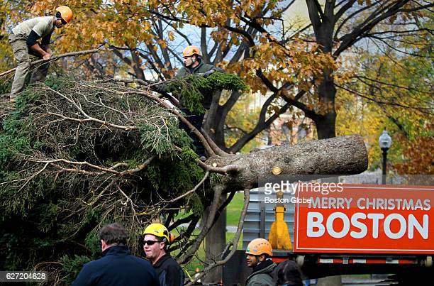Foot 50 year old white spruce donated by Gary and Roseann Meisner of Nova Scotia makes its way through the Boston Common to become Boston's Christmas...