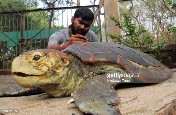 4 foot and 3 inch size and above 200 kg weight Loggerhead sea turtle which was found dead at Dhanu Sea shores was made into Taxidermi model at Sanjay...