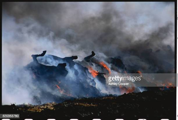 foot and mouth cattle burning on pyre - zoonotic diseases stock pictures, royalty-free photos & images