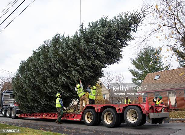 Foot blue spruce tree is secured by a crew of arborists on the truck that will haul it to Monument Square for the holiday season. David and Barbara...