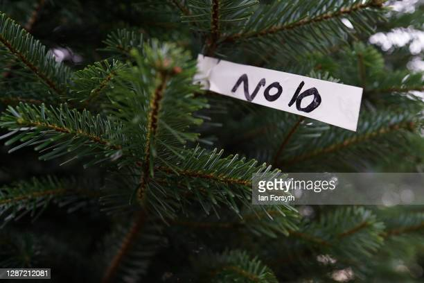 A 20 foot Nordmann Fir tree at York Christmas Trees waits to be felled before being sent to stand outside 10 Downing Street during the festive period...