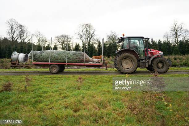 A 20 foot Nordmann Fir tree is moved by trailer after it is felled at York Christmas Trees to be sent to stand outside 10 Downing Street during the...
