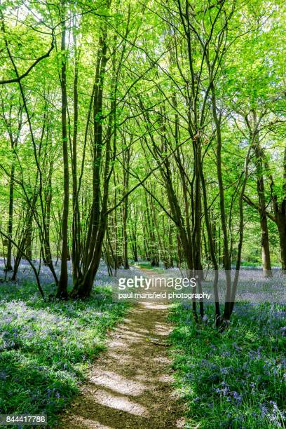 foot path in bluebell wood - bluebell wood stock pictures, royalty-free photos & images