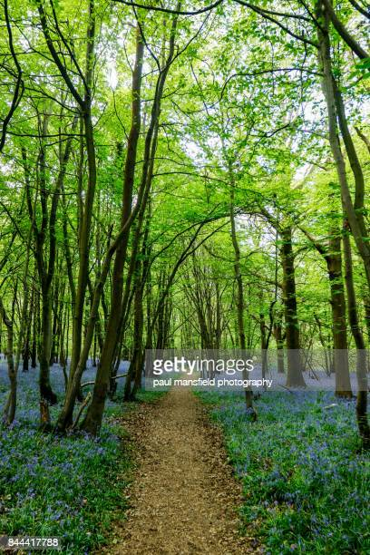 Foot path in bluebell wood