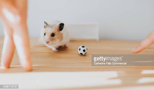 footballer hamster - the championship football league stock pictures, royalty-free photos & images