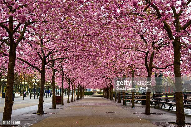 Footpath along pink cherry blossom