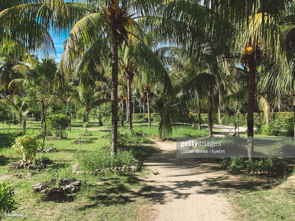 Footpath Amidst Palm Trees In Park : Stock Photo