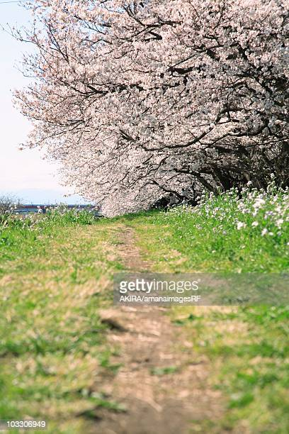 Footpath and Cherry Blossom tree. Tokyo, Japan