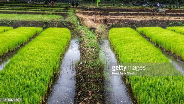 footpath between green rice fields