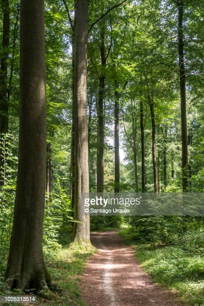footpath in beech forest - single track stock pictures, royalty-free photos & images