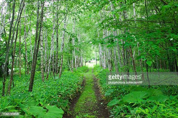 Footpath in forest, Hokkaido Prefecture, Japan