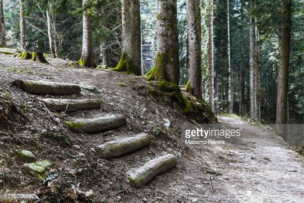 footpath in the silver fir forest - cuneo stock pictures, royalty-free photos & images