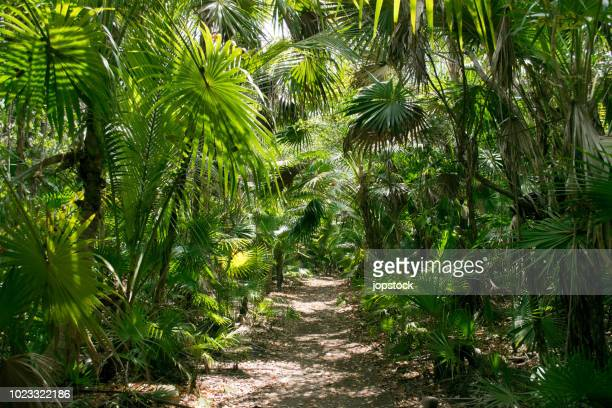 footpath in the tropical rainforest of tulum, mexico - lush stock pictures, royalty-free photos & images
